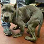 Cão ficou com o corpo torto após passar 2 anos preso em uma gaiola