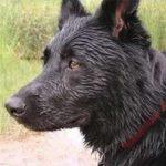 Cachorro viaja 100 km para morder seu ex dono que o abandonou