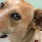 Casos de estupro de cães preocupam ONGs em Manaus (AM)