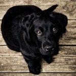 Cães e gatos pretos são últimos a serem adotados, segundo estudo