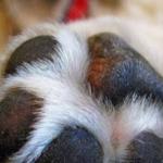 Animais não devem ser higienizados com álcool em gel e detergente, alertam veterinários