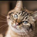 Dois gatos são os primeiros animais de estimação com covid-19 nos EUA